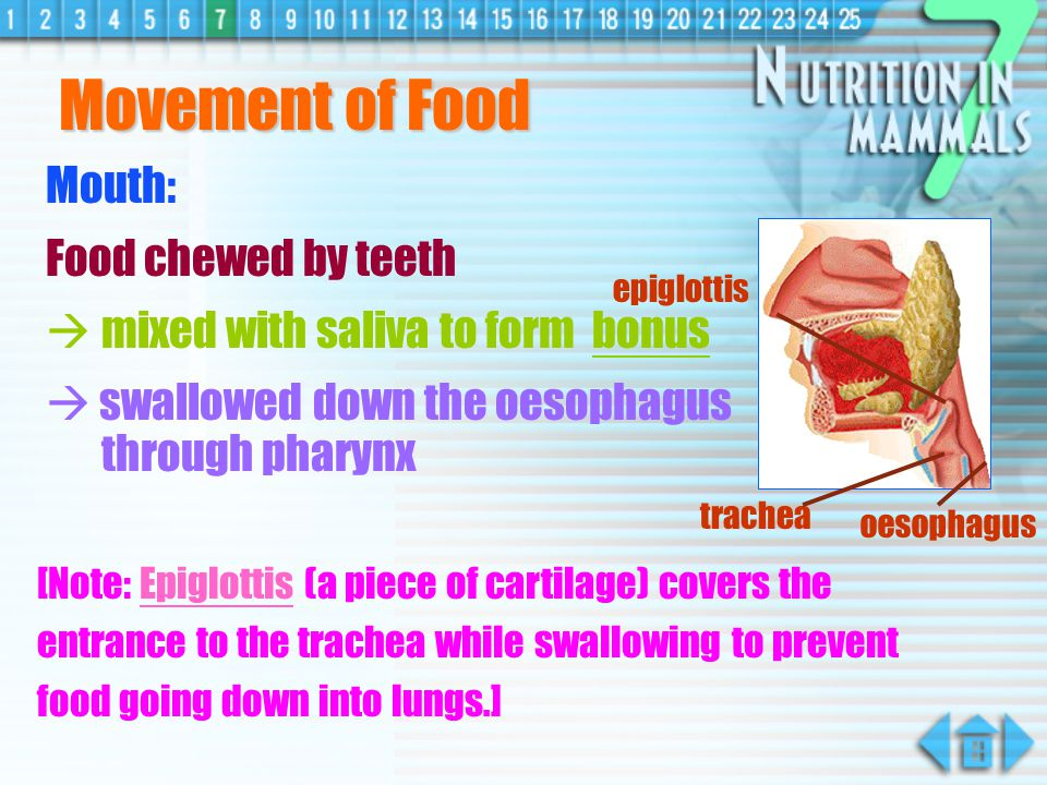 Movement of Food Mouth: Food chewed by teeth