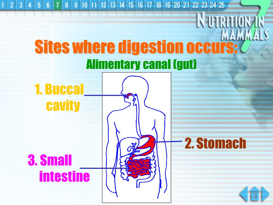 Sites where digestion occurs: