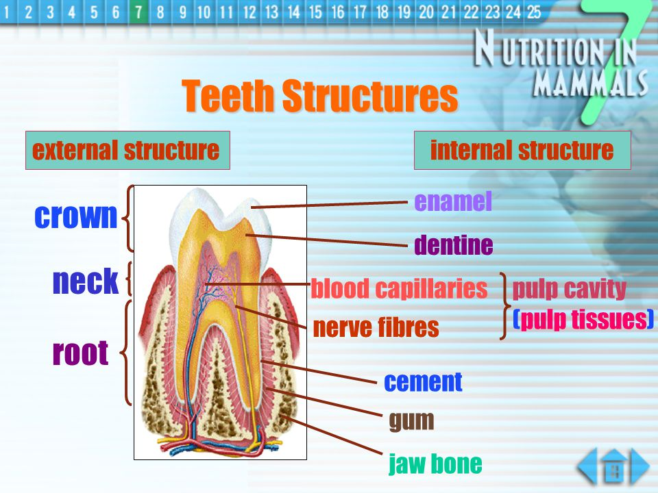 Teeth Structures crown neck root external structure internal structure