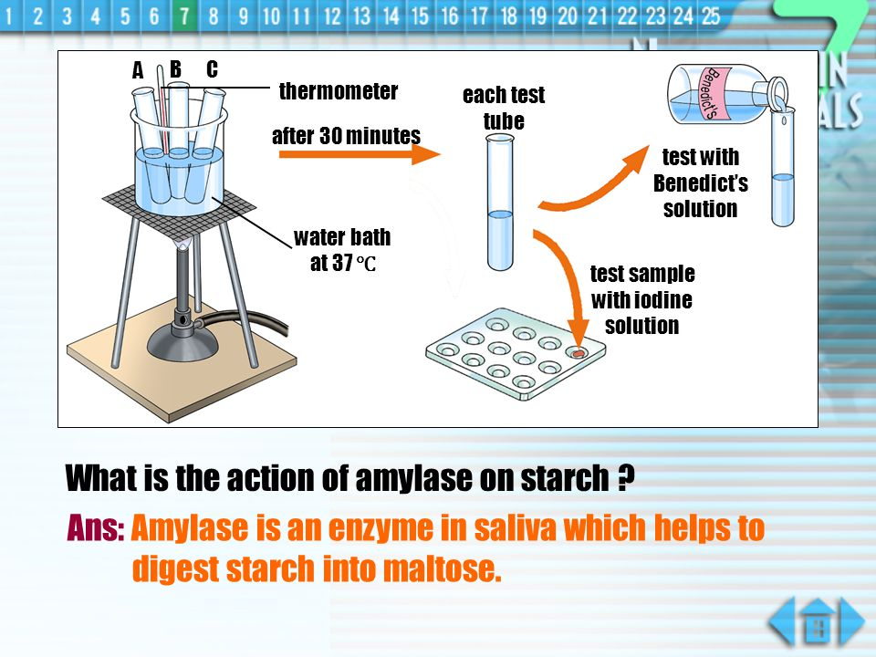 What is the action of amylase on starch