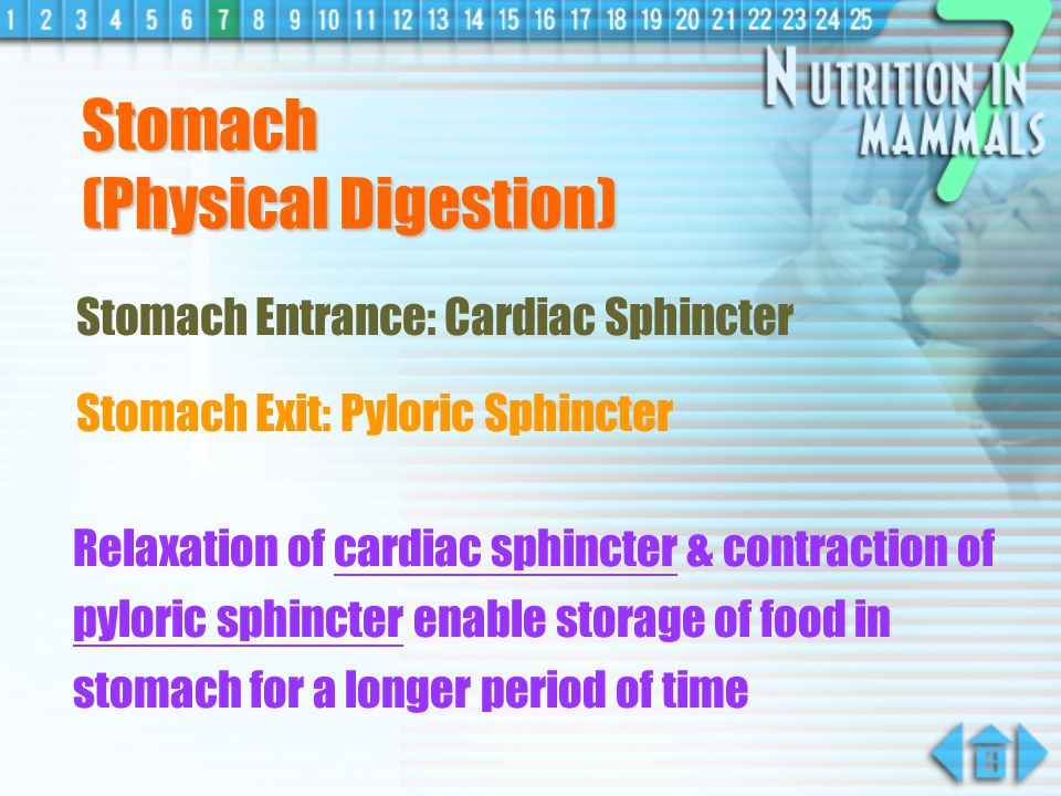 Stomach (Physical Digestion)