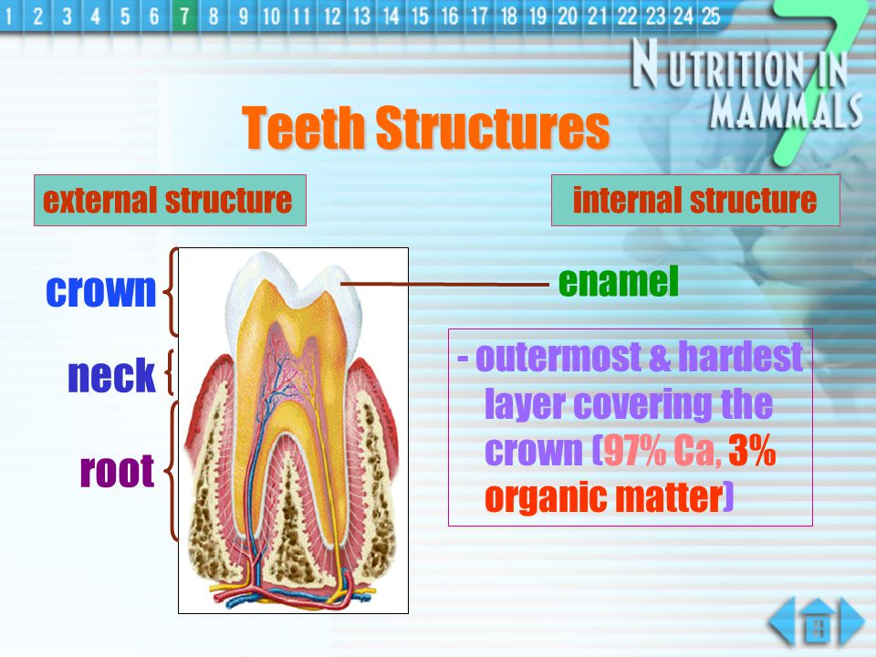 Teeth Structures crown neck root enamel