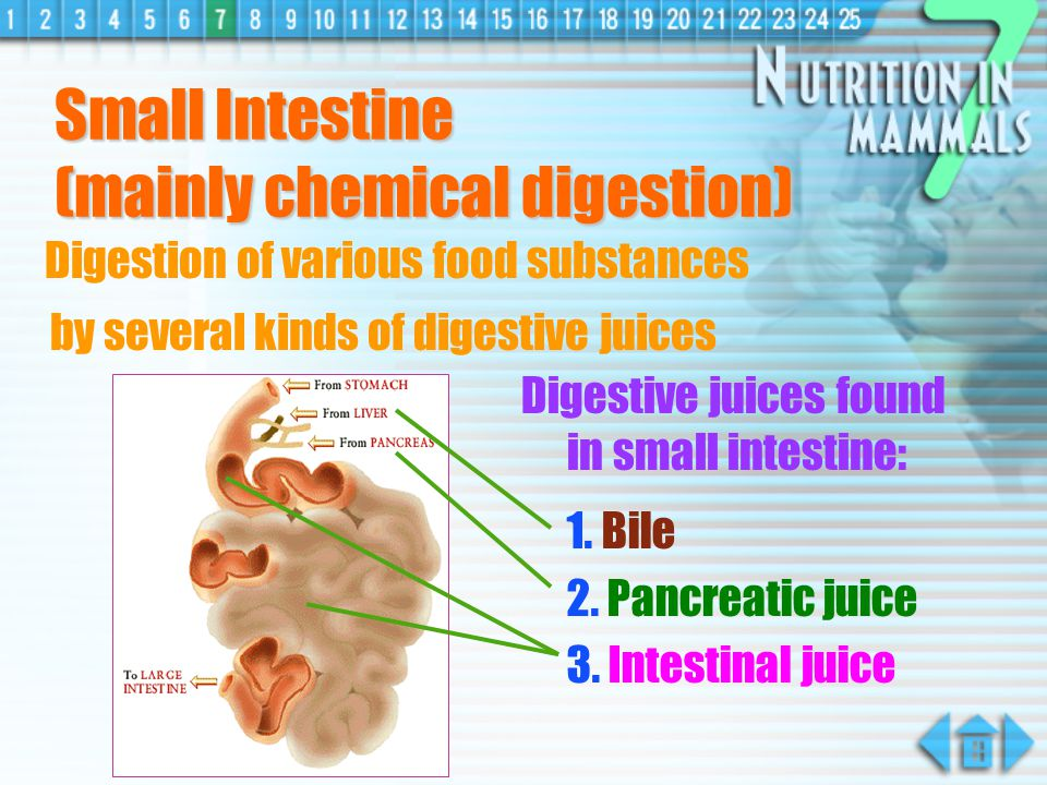 Small Intestine (mainly chemical digestion)