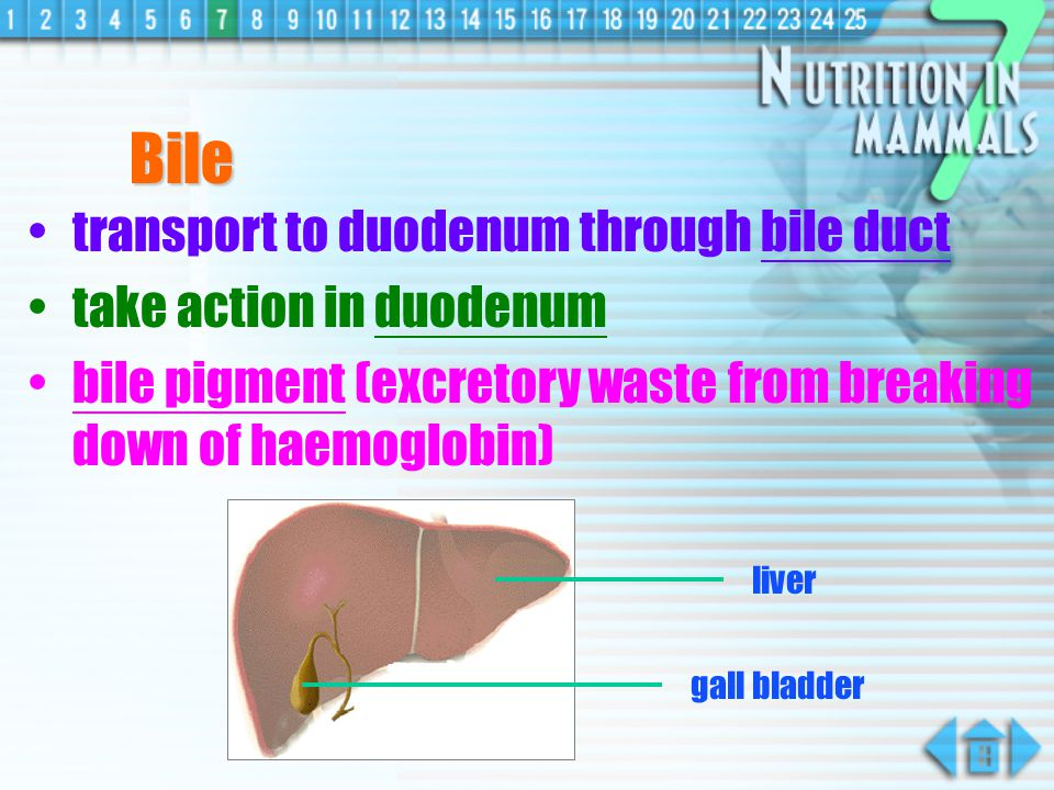 Bile transport to duodenum through bile duct take action in duodenum