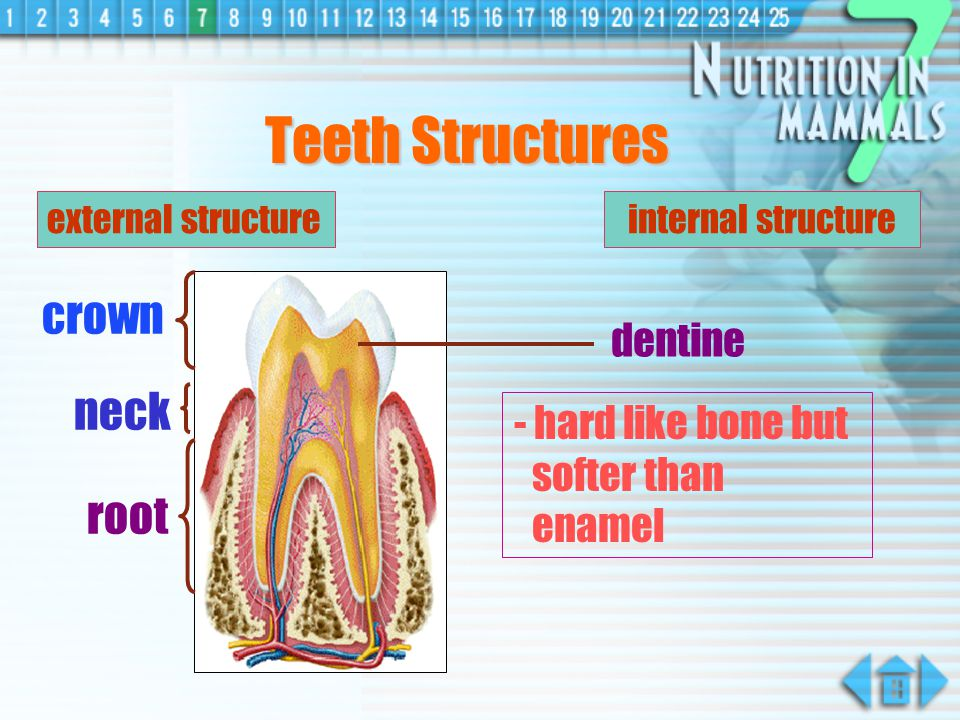 Teeth Structures crown neck root dentine