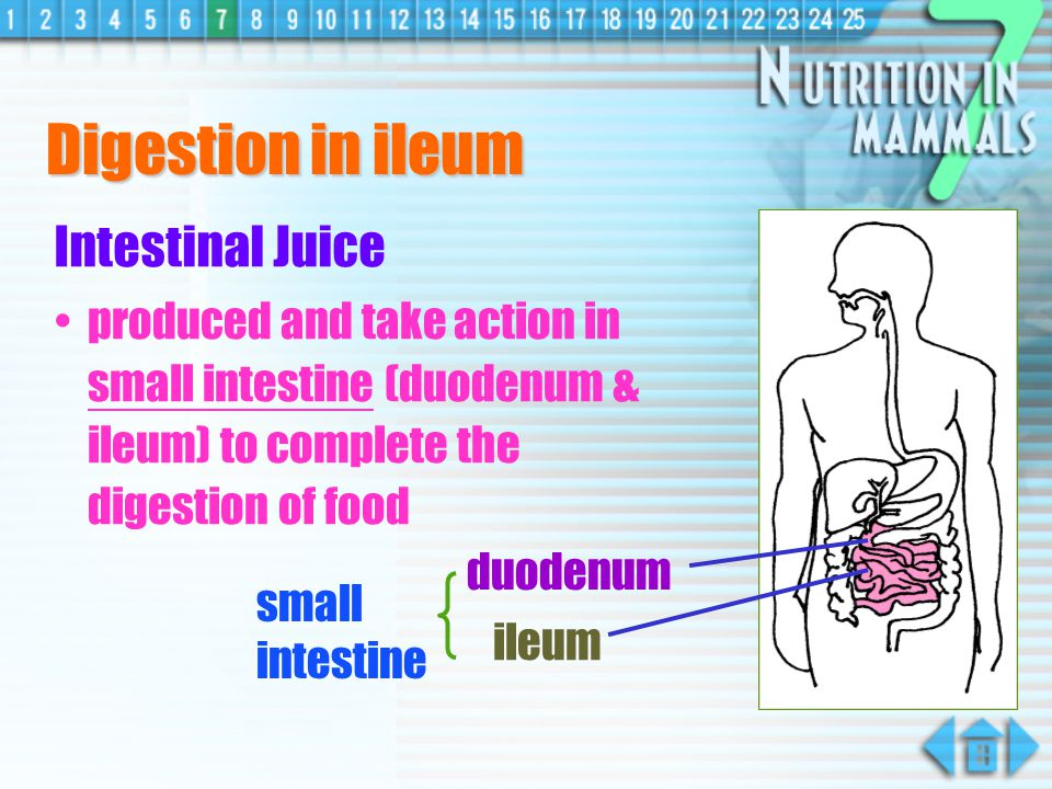 Digestion in ileum Intestinal Juice