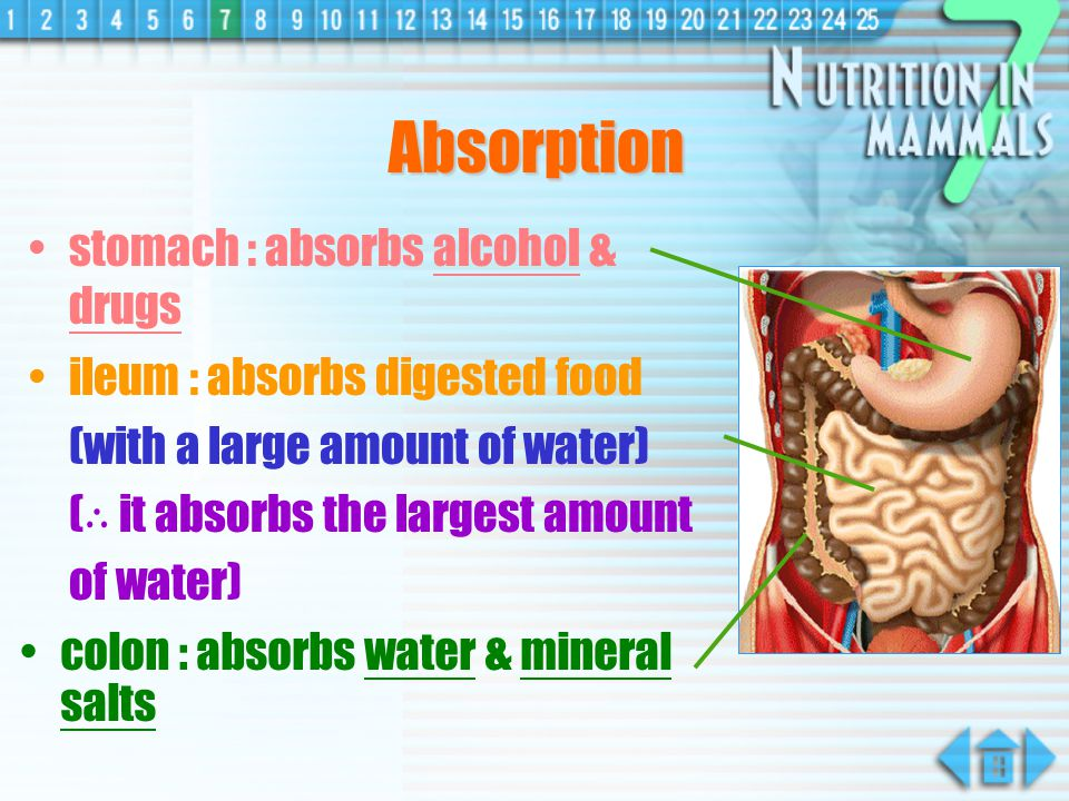 Absorption stomach : absorbs alcohol & drugs