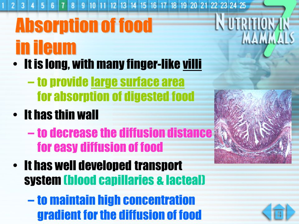 Absorption of food in ileum