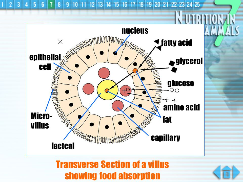 Transverse Section of a villus showing food absorption