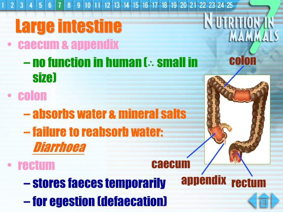 Large intestine caecum & appendix