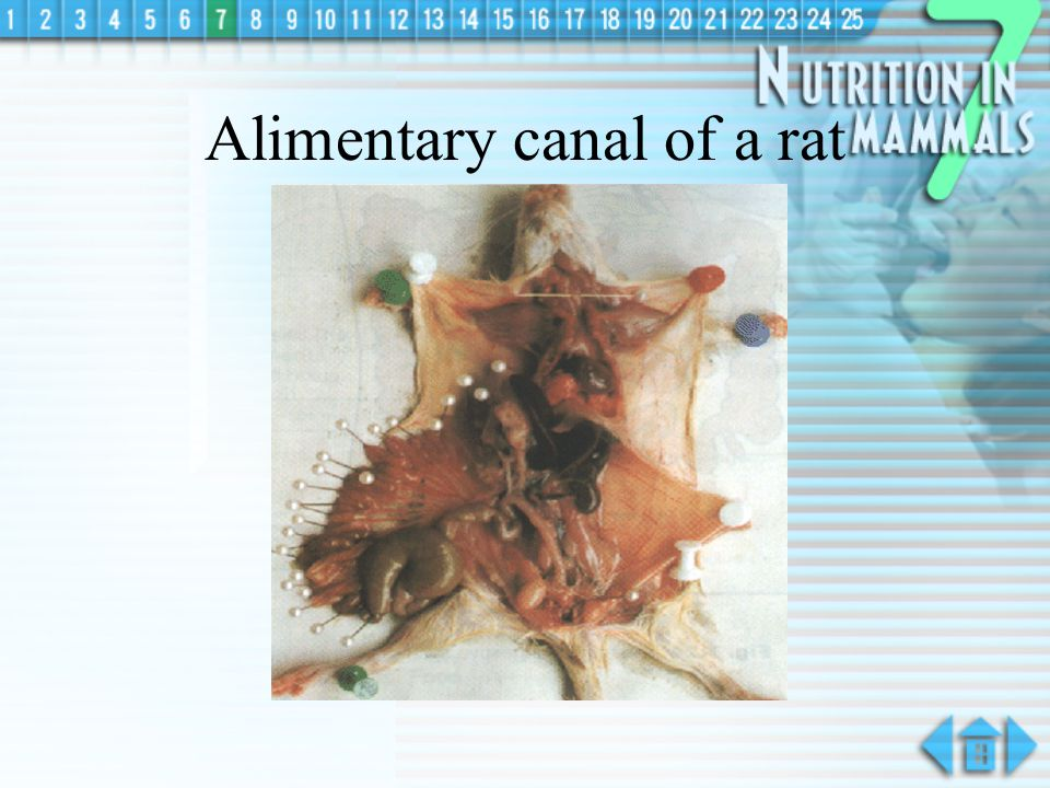 Alimentary canal of a rat