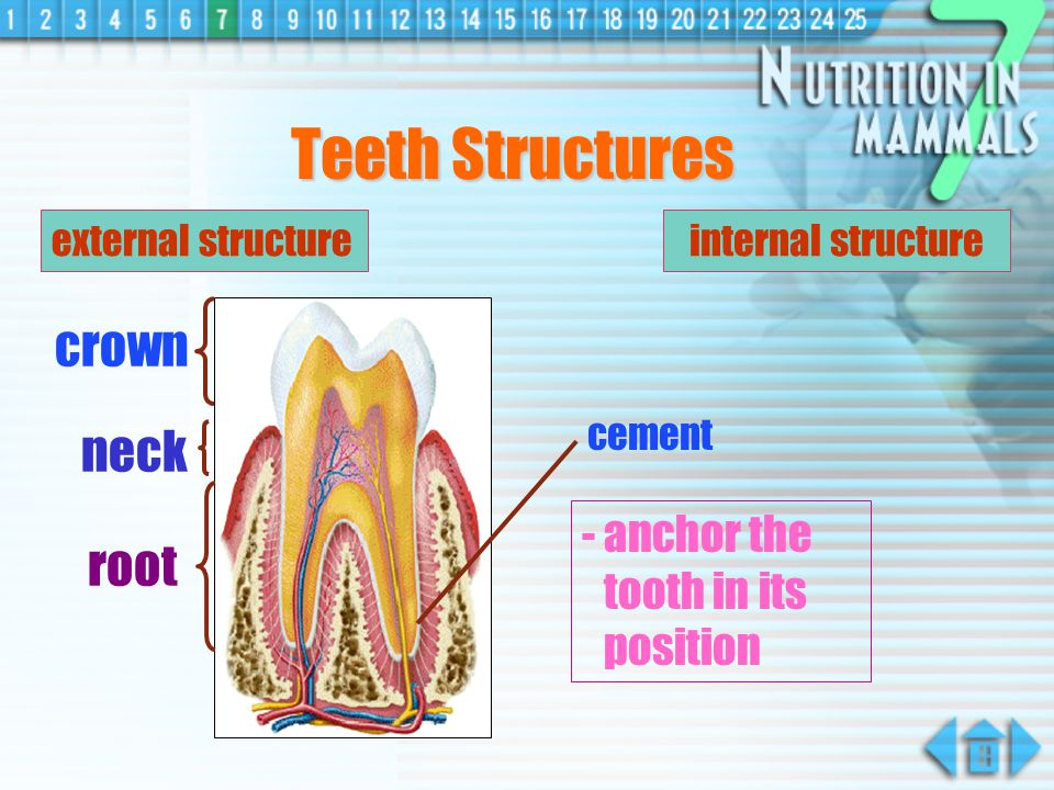Teeth Structures crown neck root - anchor the tooth in its position