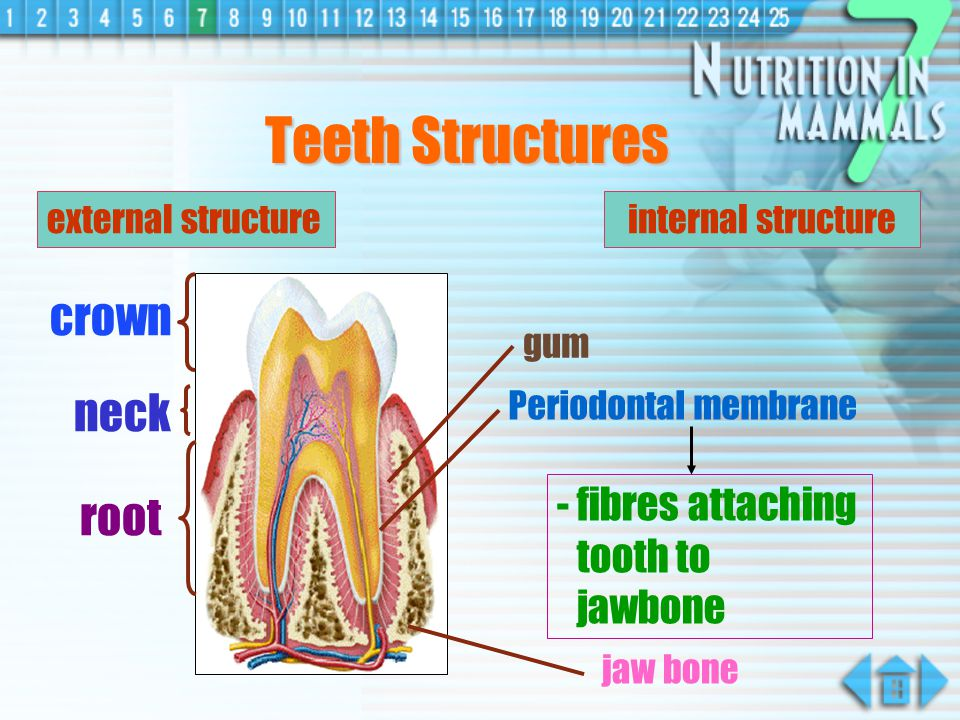 Teeth Structures crown neck root - fibres attaching tooth to jawbone