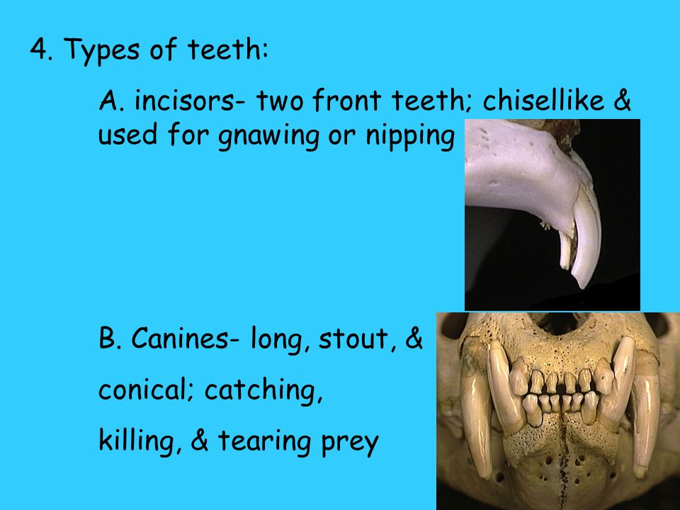 4. Types of teeth: A. incisors- two front teeth; chisellike & used for gnawing or nipping. B. Canines- long, stout, &