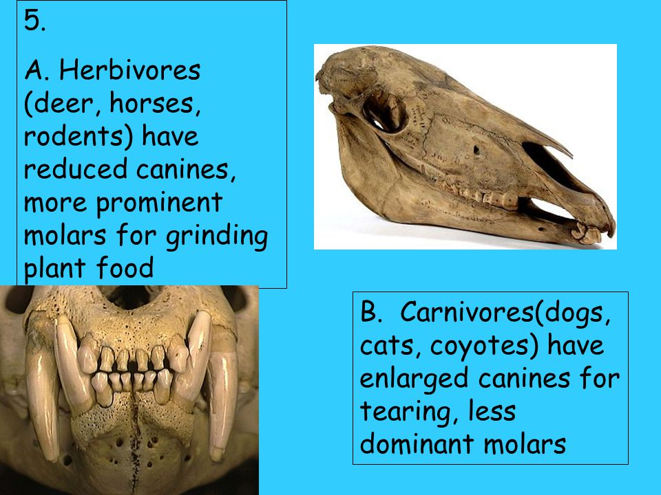 5. A. Herbivores (deer, horses, rodents) have reduced canines, more prominent molars for grinding plant food.