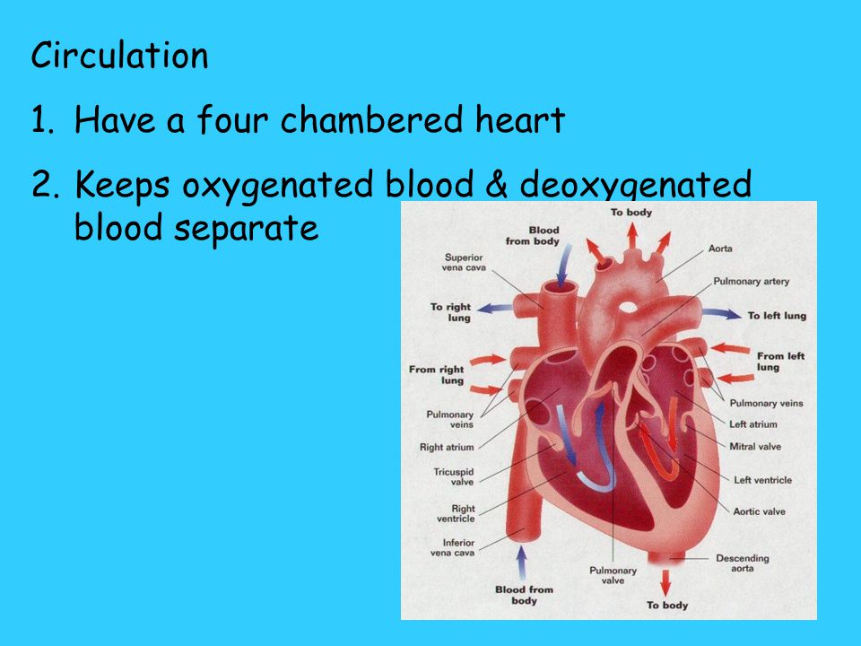 Circulation Have a four chambered heart Keeps oxygenated blood & deoxygenated blood separate