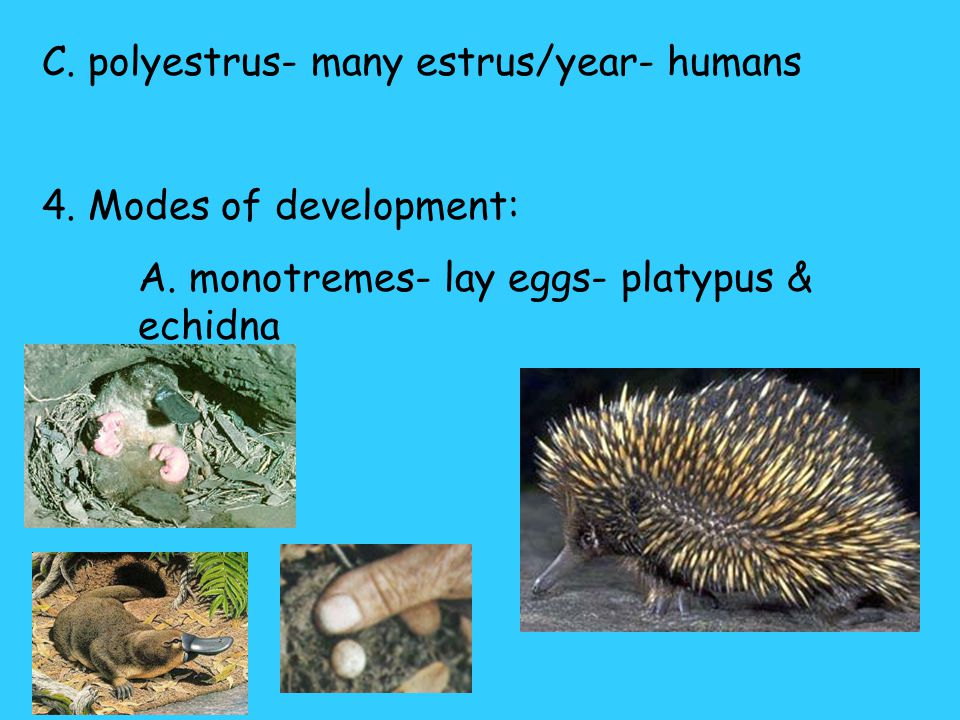 C. polyestrus- many estrus/year- humans