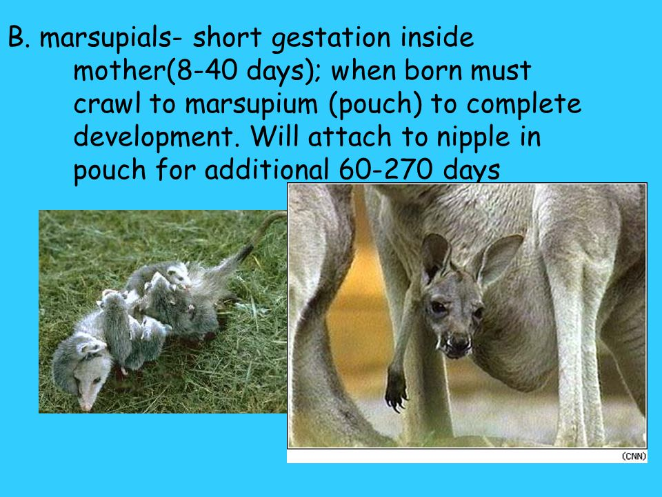 B. marsupials- short gestation inside