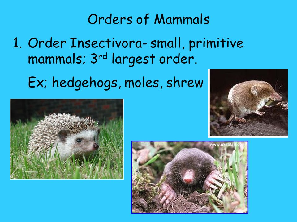 Orders of Mammals Order Insectivora- small, primitive mammals; 3rd largest order.