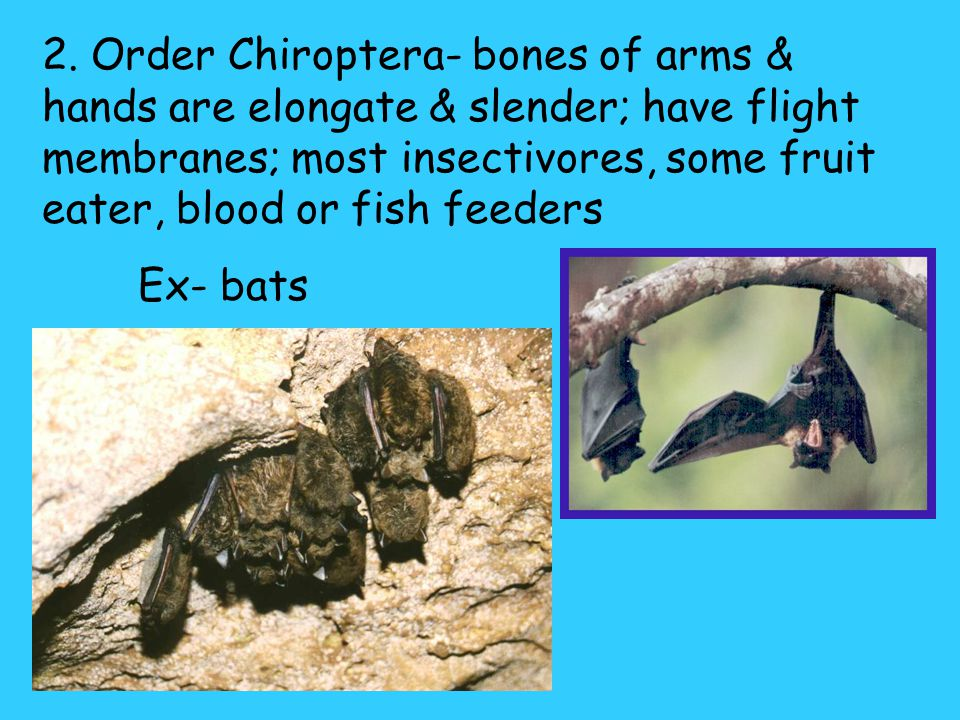 2. Order Chiroptera- bones of arms & hands are elongate & slender; have flight membranes; most insectivores, some fruit eater, blood or fish feeders