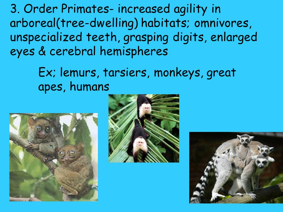 3. Order Primates- increased agility in arboreal(tree-dwelling) habitats; omnivores, unspecialized teeth, grasping digits, enlarged eyes & cerebral hemispheres