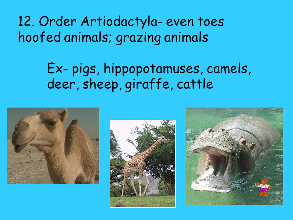 12. Order Artiodactyla- even toes hoofed animals; grazing animals