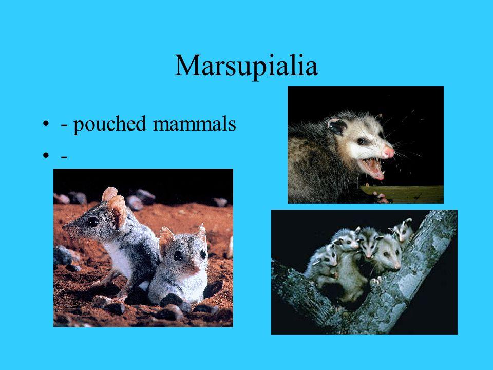 Marsupialia - pouched mammals -
