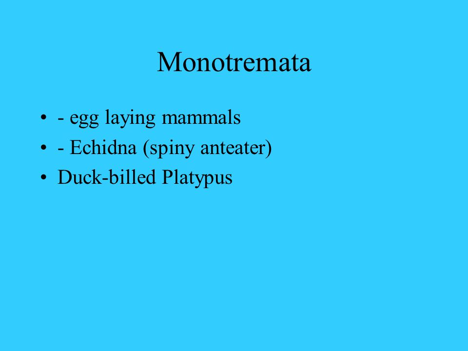 Monotremata - egg laying mammals - Echidna (spiny anteater)