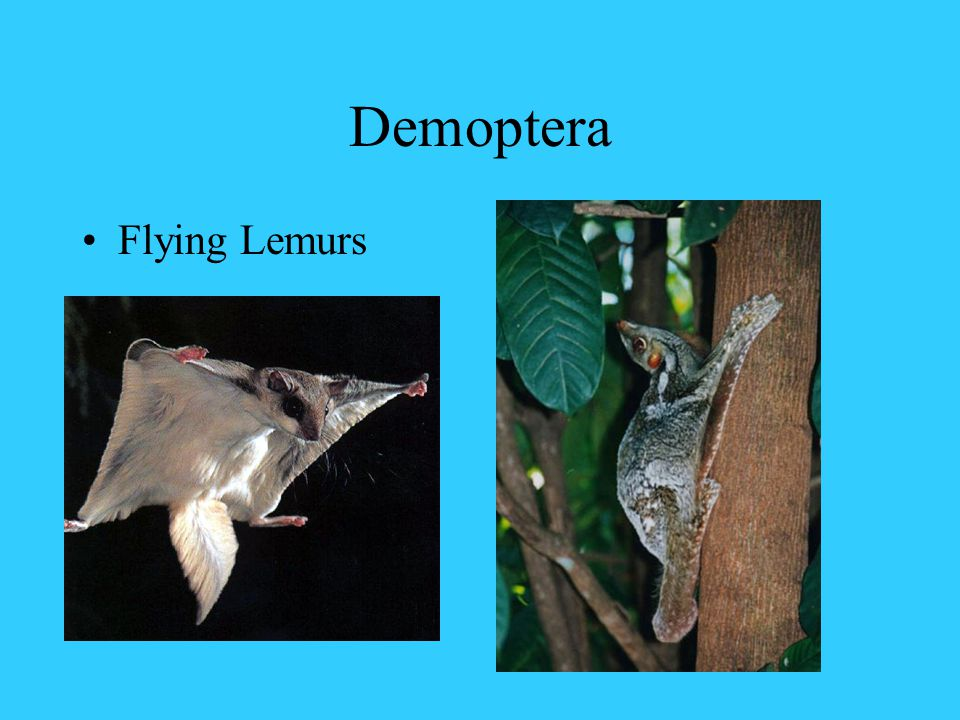Demoptera Flying Lemurs