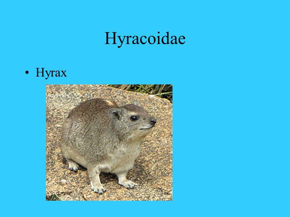 Hyracoidae Hyrax