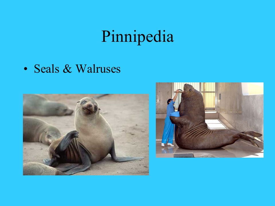 Pinnipedia Seals & Walruses