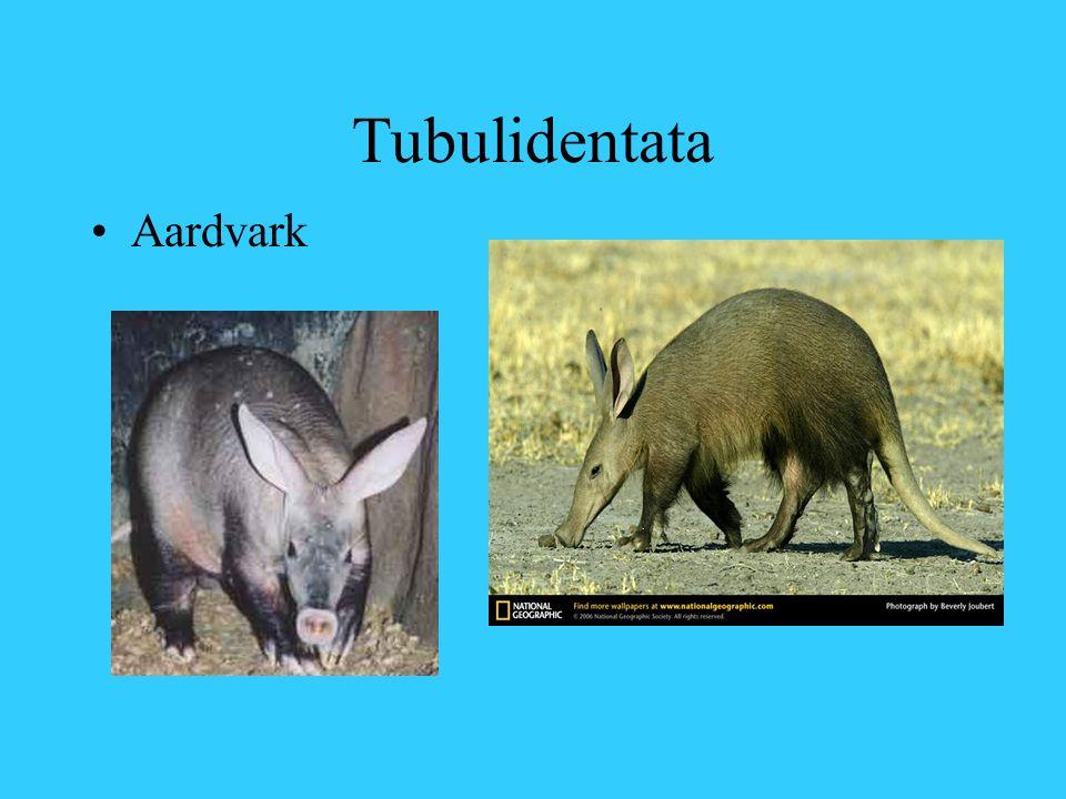Tubulidentata Aardvark