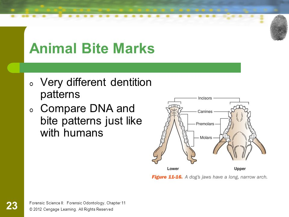 Animal Bite Marks Very different dentition patterns