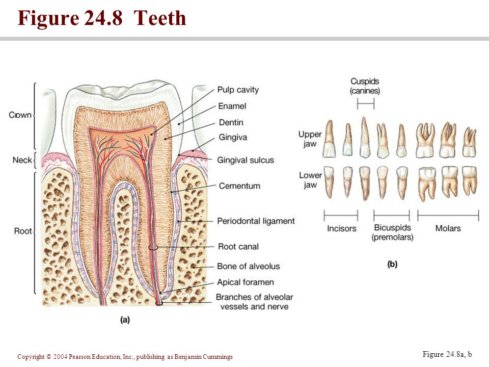 Figure 24.8 Teeth Figure 24.8a, b