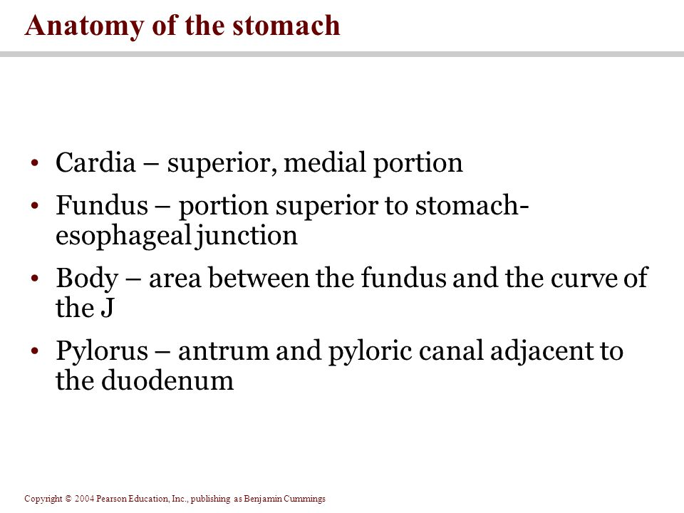 Anatomy of the stomach Cardia – superior, medial portion