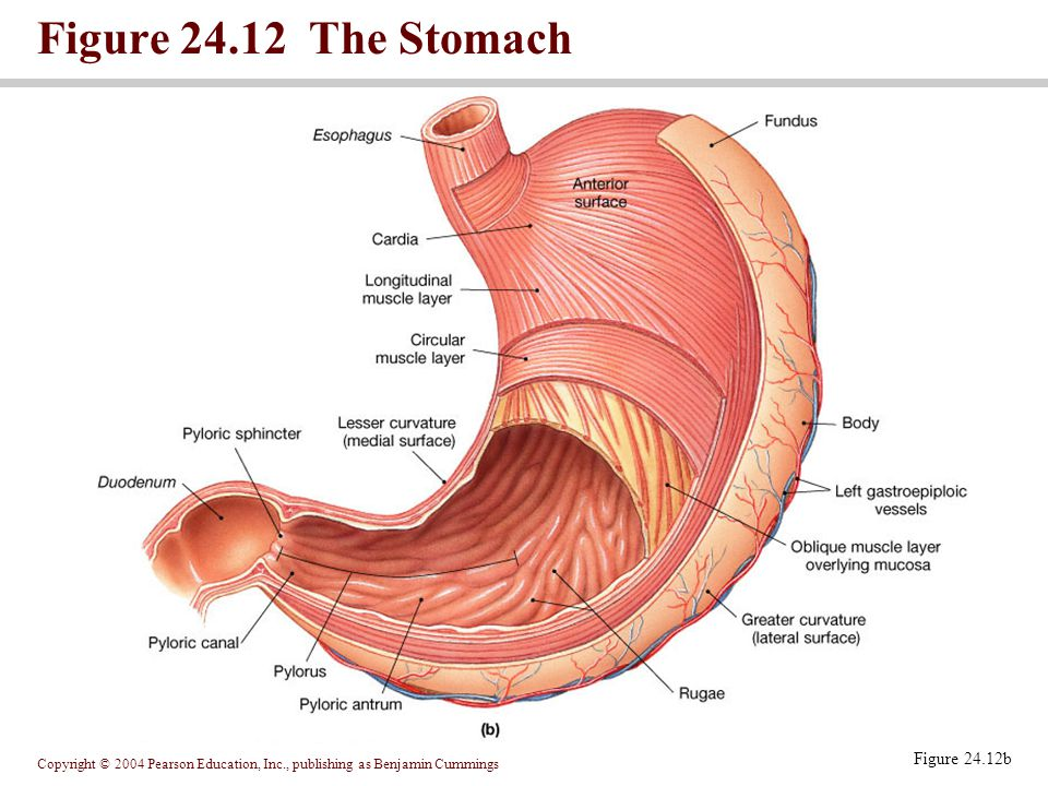 Figure The Stomach Figure 24.12b
