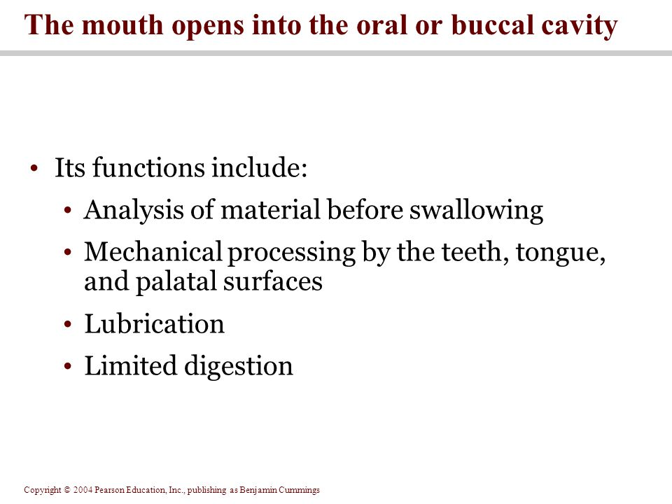 The mouth opens into the oral or buccal cavity