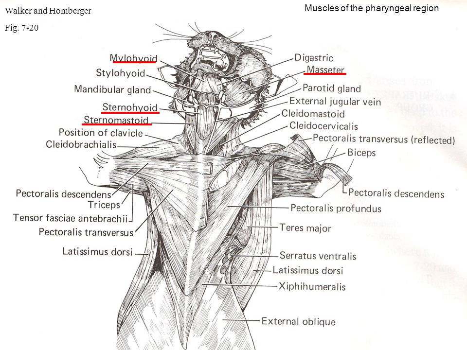 Walker and Homberger Muscles of the pharyngeal region Fig. 7-20