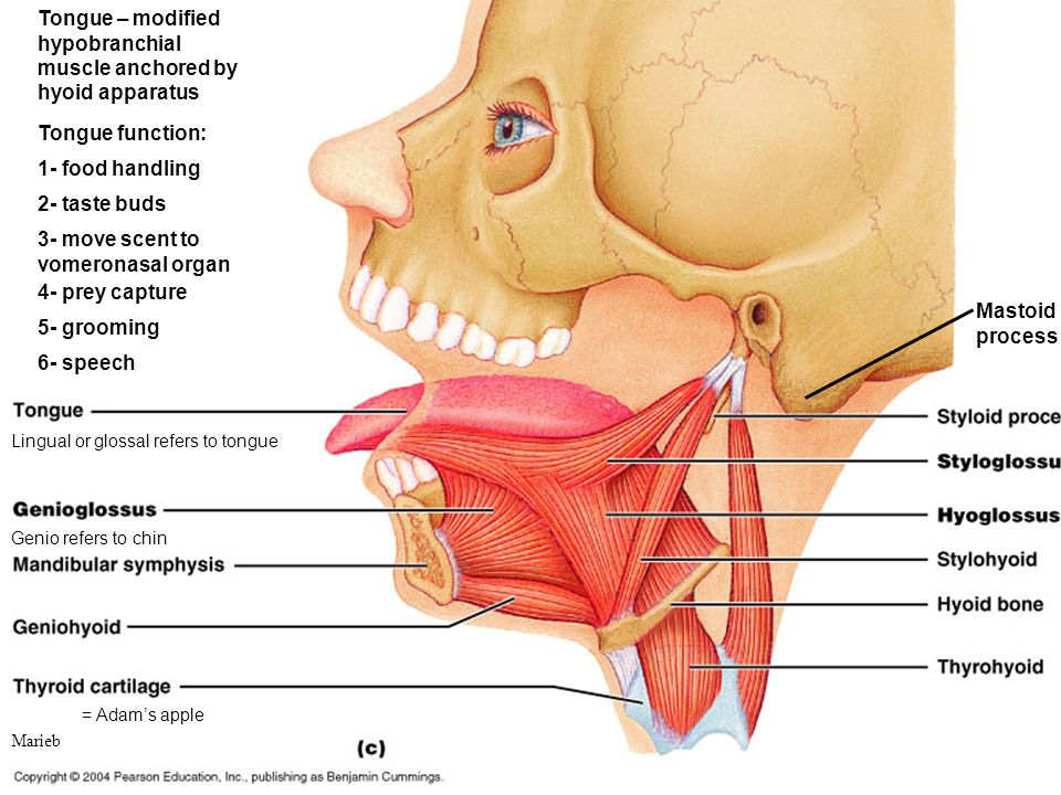 Tongue – modified hypobranchial muscle anchored by hyoid apparatus