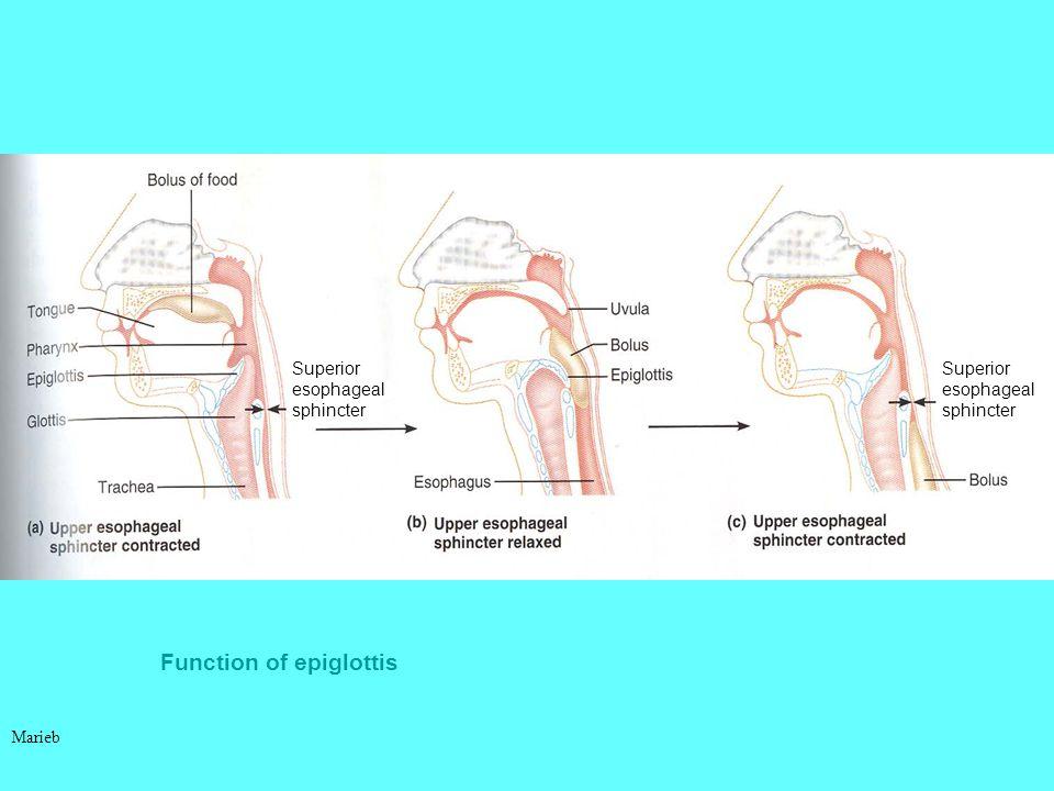 Function of epiglottis