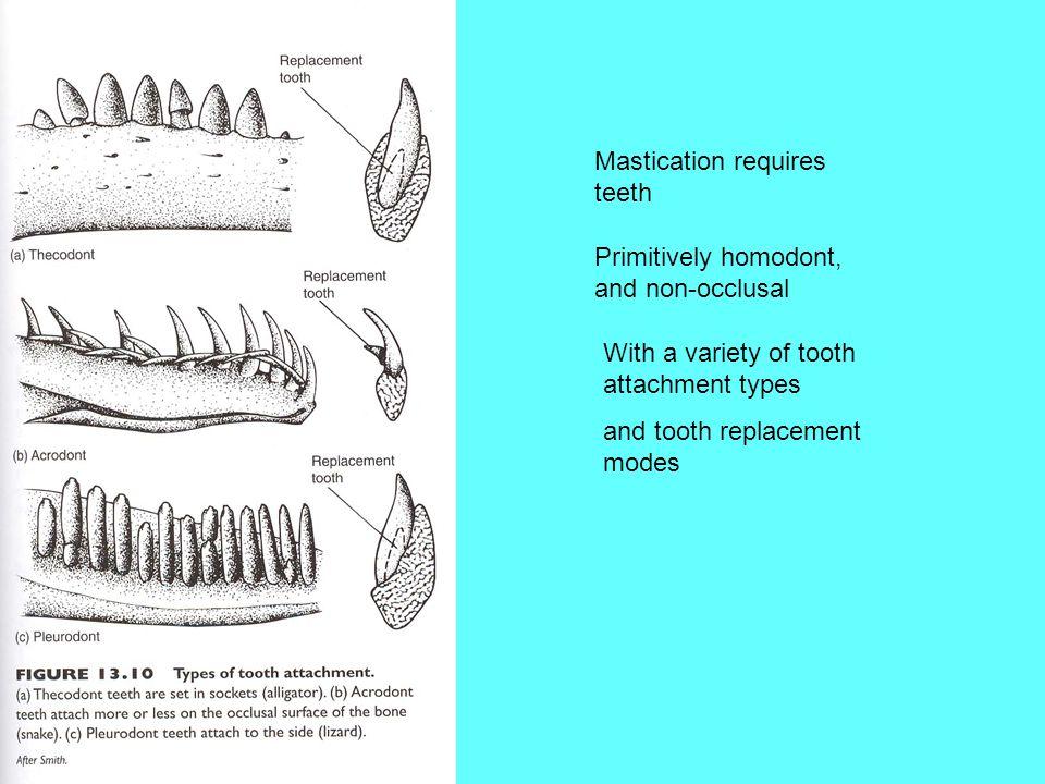 Mastication requires teeth