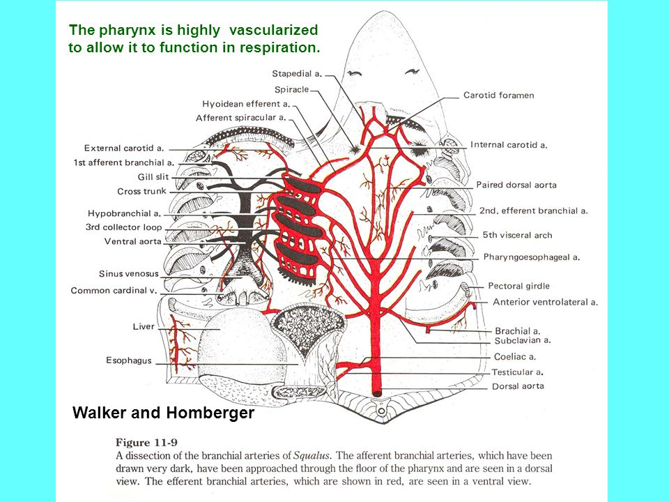 Walker and Homberger The pharynx is highly vascularized