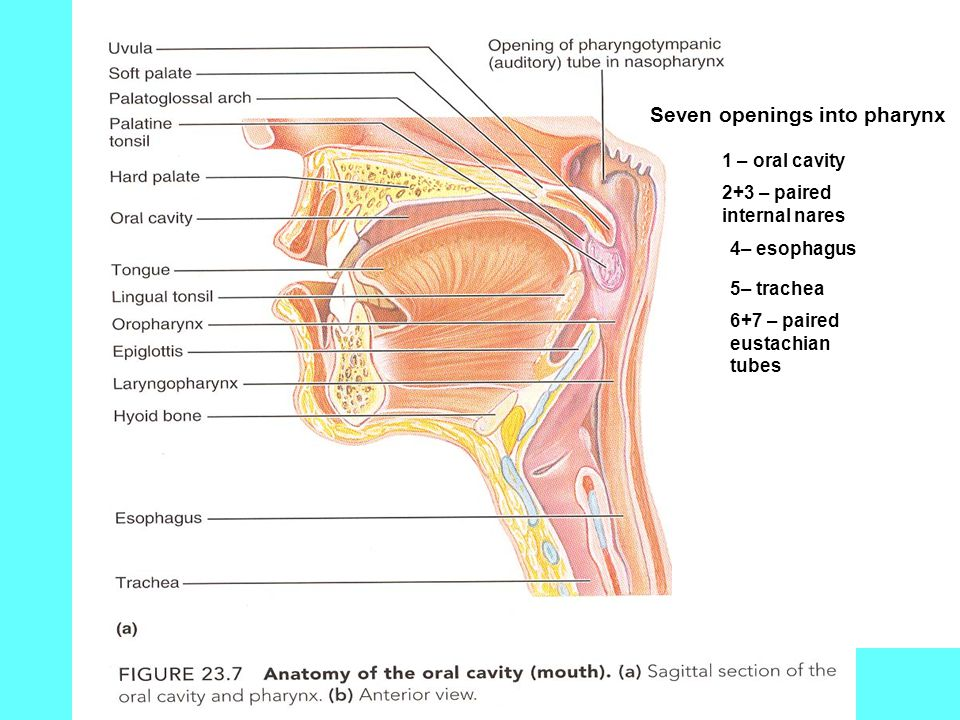 Seven openings into pharynx