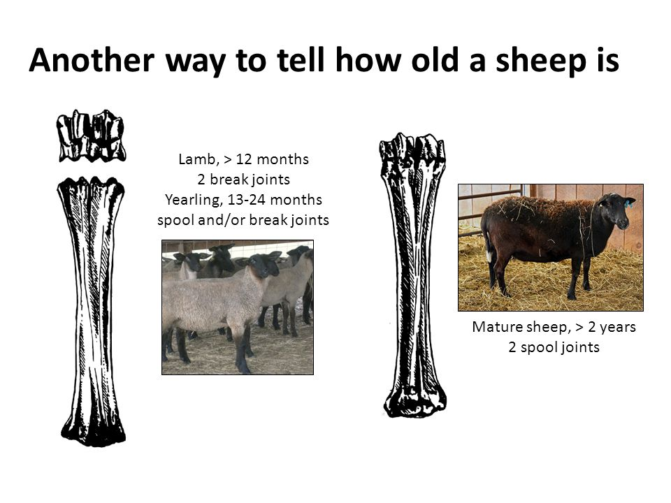 Another way to tell how old a sheep is
