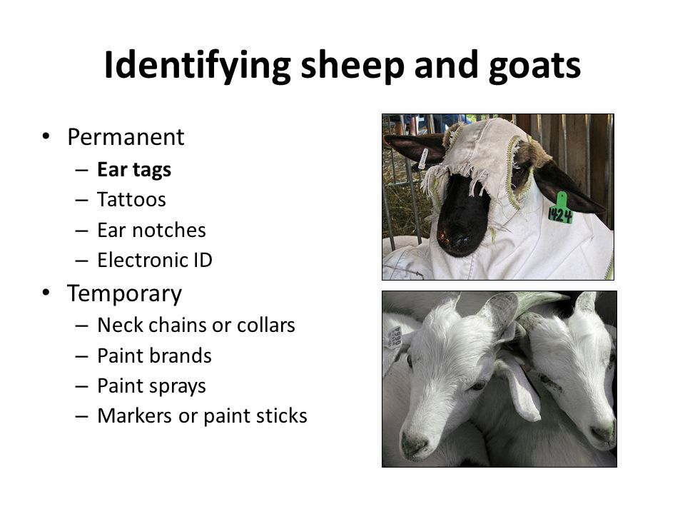 Identifying sheep and goats