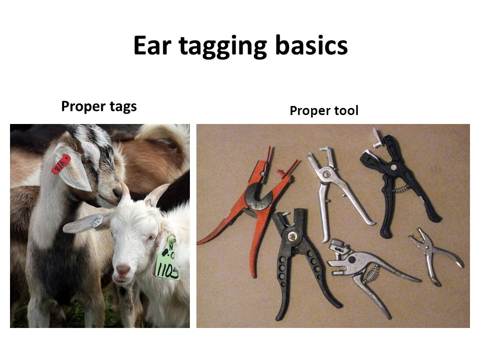 Ear tagging basics Proper tags Proper tool
