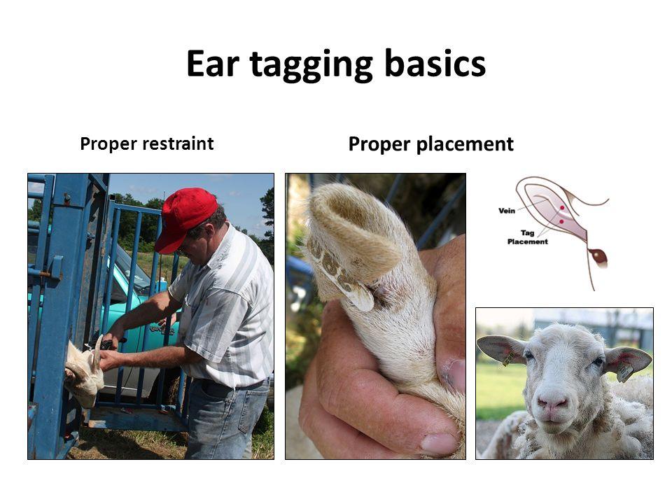Ear tagging basics Proper restraint Proper placement