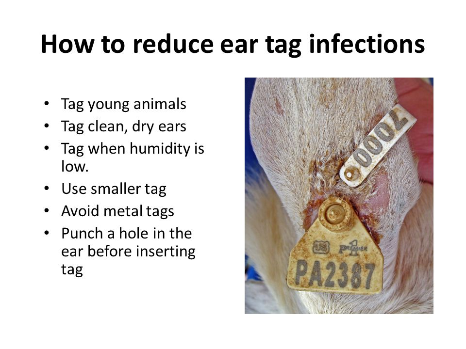 How to reduce ear tag infections