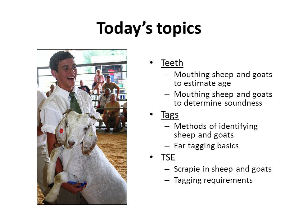 Today's topics Teeth Tags TSE Mouthing sheep and goats to estimate age