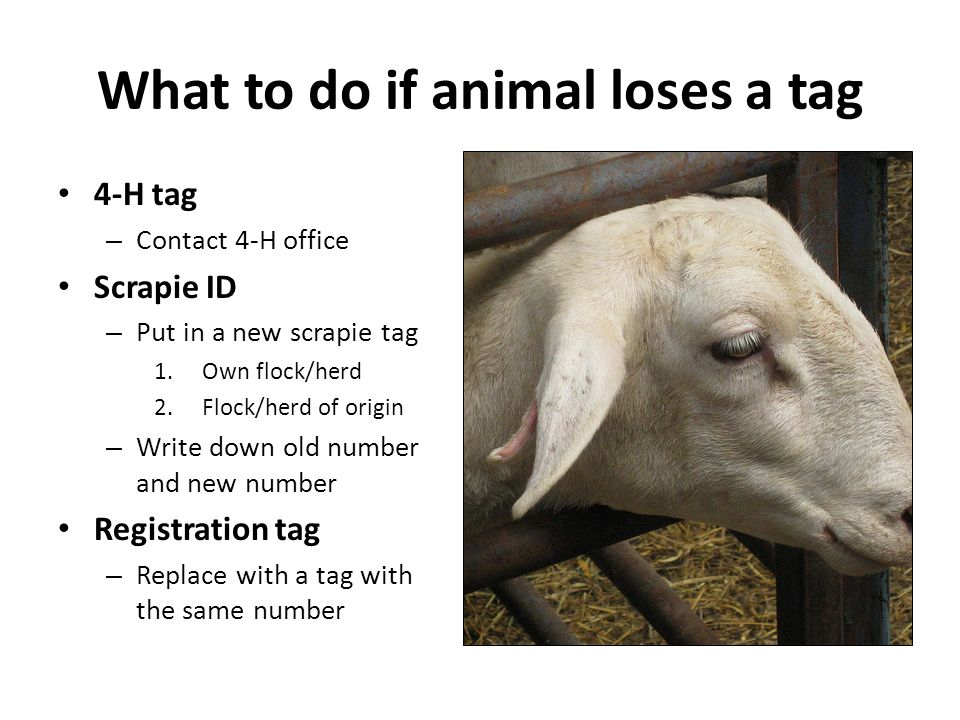 What to do if animal loses a tag